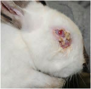 natural treatments for eye infection in rabbit picture 3