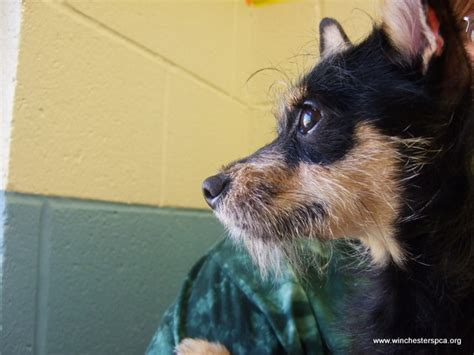 wired hair chihuahua picture 9