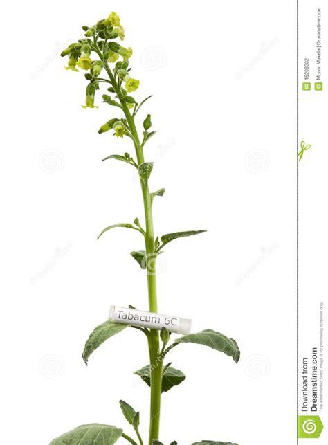 homeo medicine damia plant picture 11