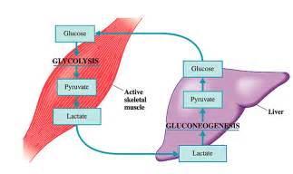 gaining muscle m with liver picture 10