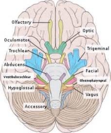 ciliary muscle and trigeminal pain picture 14