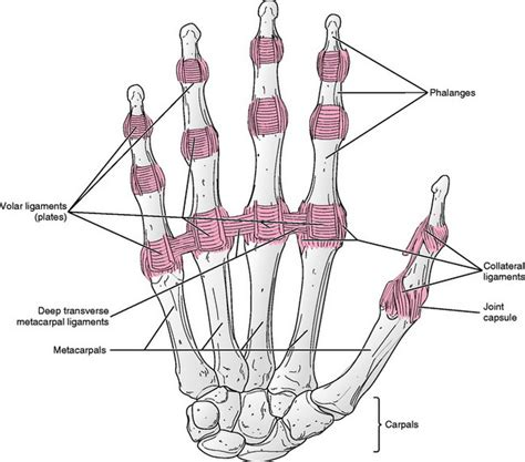 metacarpal phalangeal joint measurement picture 12