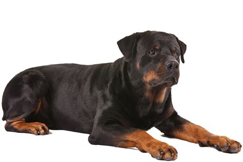 rottweiler aging picture 1