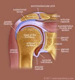 diagram of shoulder joint picture 7