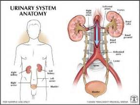 anatomy and physiology of urinary bladder picture 10