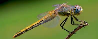 biddy dragonfly diet picture 9