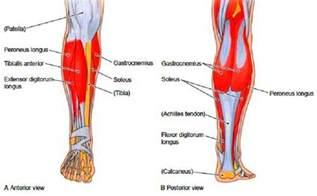 leg muscle diagram picture 2