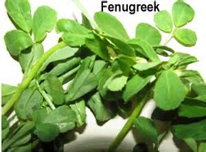 fenugreek leaves picture 14