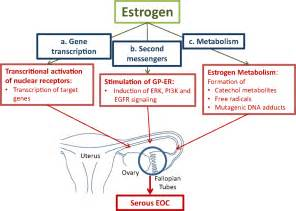 estrogens effect on the thyroid picture 9
