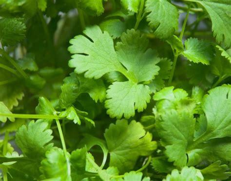 cilantro digestion picture 5