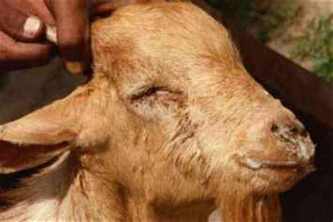 goat allergies goat swollen lips picture 14
