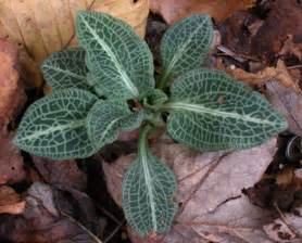 rattlesnake plantain picture 9