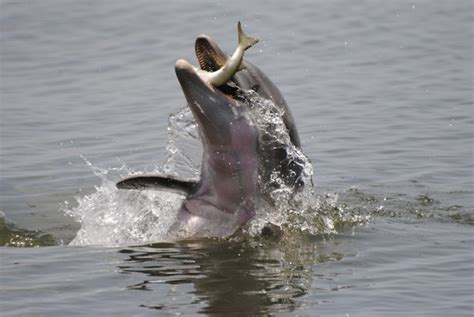 a dolphin's diet picture 2