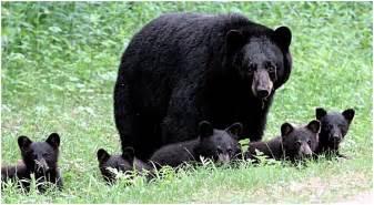 black bear herbal picture 1