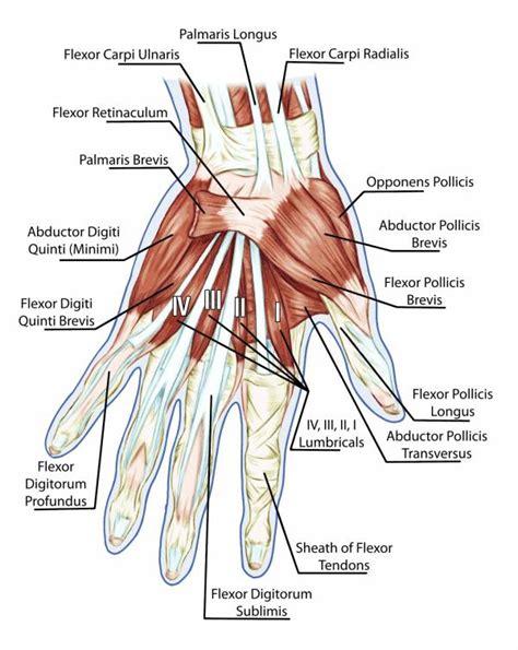 flexor pollicis longus muscle picture 10