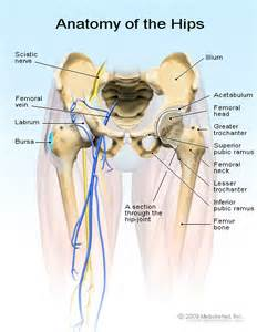 anatomy of the hip joint picture 7