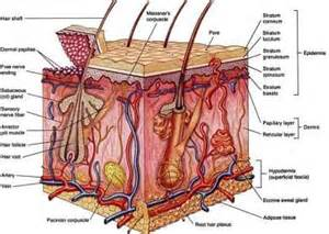 cross section od human skin picture 2