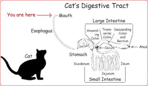 cat digestion picture 6