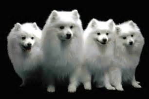 joint problems in american eskimo picture 5