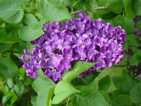 lilacs skin irritation picture 2