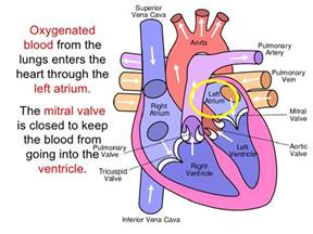 Heart blood flow picture 1