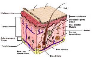 structure of the skin models picture 1