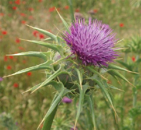 milk thistle for liver damage picture 7