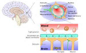 bacterial meningitis penetrates brain blood barrier picture 1