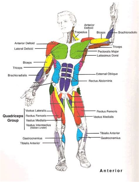 human muscle diagram picture 3