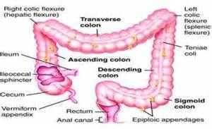 transverse colon picture 2