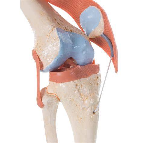 anatomy of knee joint picture 15