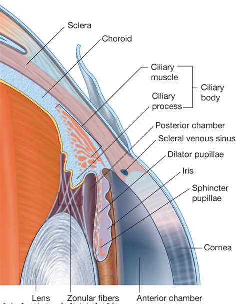ciliary eye muscle picture 15