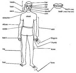 hw do gynaecosid work in d body picture 3