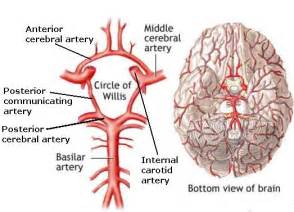 blood flow to the brain picture 21