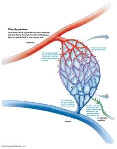 blood flow through the capillaries picture 6