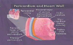 cardiac muscle is found in the wall of picture 18