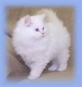 smoke persian cats picture 10