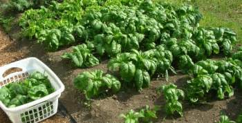 spinach muscle growth picture 13