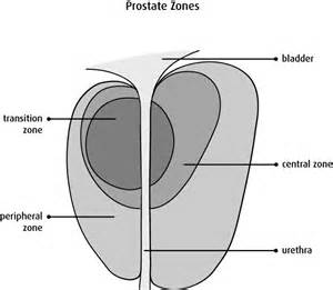 Prostate gland structure picture 5
