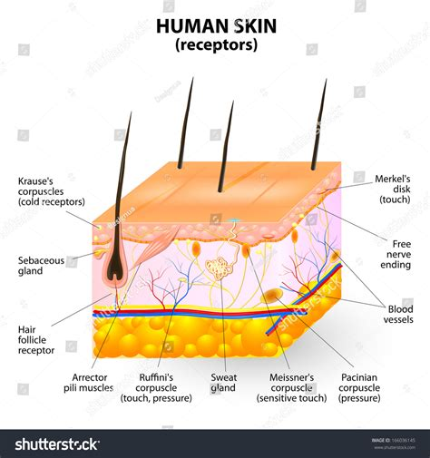 cross section of human skin picture 17
