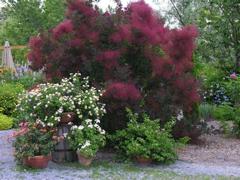 caring for purple smoke trees picture 19