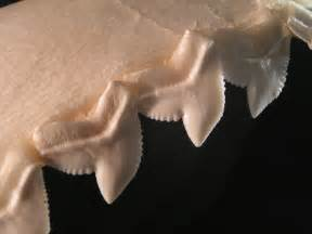 shark teeth picture 3