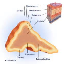 is testosterone produced by the adrenal cortex picture 6