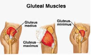 gluteous maximus muscle picture 19