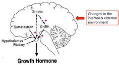 growth hormone dysregulation quizlet picture 2
