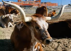 cattle aging picture 7