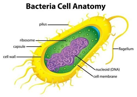what herb clear of bacteria in the stomach picture 9