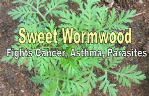 wormwood for pain relief picture 13