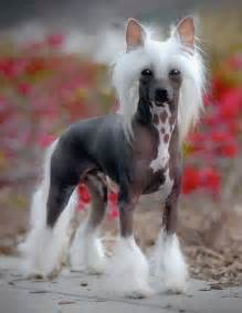 chinese crested dog skin disease picture 1