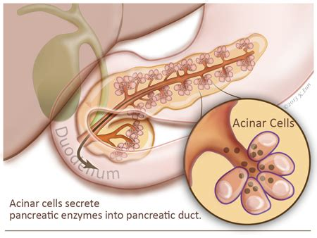 digestive function of pancreas picture 1